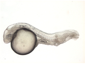 dino is required for the organization of the zebrafish body plan