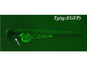 green fluorescent protein expressed in thyroid primordium
