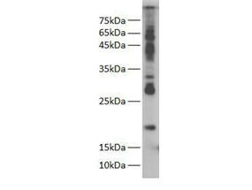 Western blot of Zebra fish whole lysate with anti-H2A Rabbit Polyclonal Antibody at dilution of 1:1000